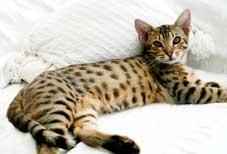 Ocicat Club-Breeders